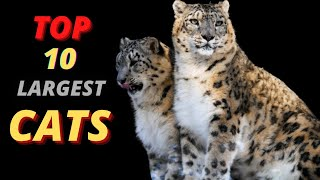 10 Largest Cat Breeds in the world | It Would Be the Perfect Addition to Your Home
