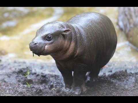 Adorable Pygmy Hippo Calf!
