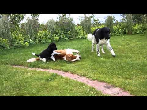 Stabyhoun puppy, mum and Welsh Springer Spaniel playing