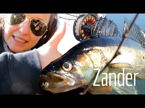 Zander Fishing … Is Pike Perch Fish Hooked With Lure Or Fly?