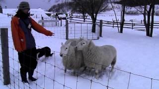 ハンドラーの指示を受け、 牧羊犬のメグ(ボーダーコリー・雌・5才)が羊...