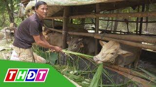 Nông dân Tam Nông nuôi bò cho thu nhập cao   THDT