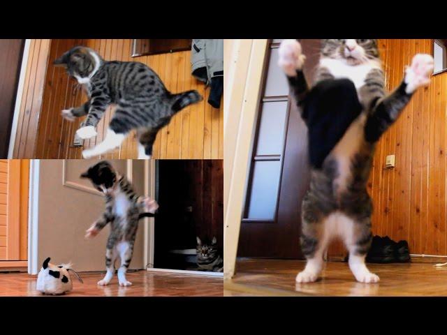 Kangaroo – Cat (Insane!)