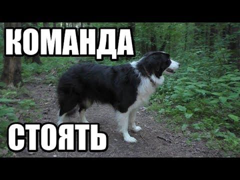 Как научить собаку команде стоять видео уроки