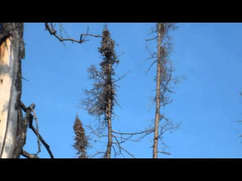Black-backed Woodpecker - Lynn Lake, Manitoba