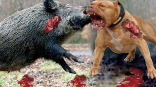 wild boar bully lion lion vs hippo real fight lion vs rhino vs dog animal attacks gabel