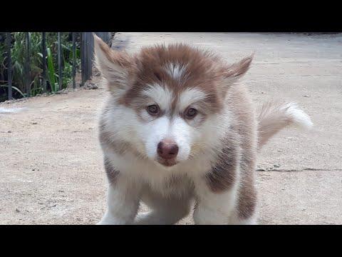 Bán Chó Alaska Giá rẻ 13 tháng 11, 20