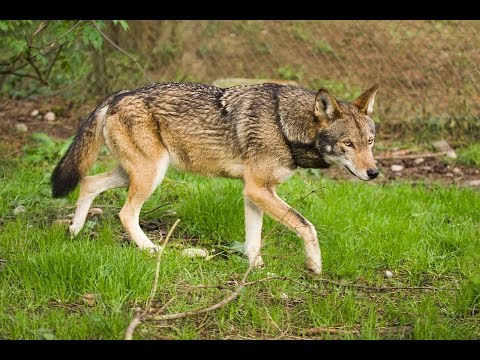 Science Cafe: Blindness in an Endangered Species