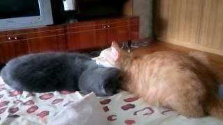 Рыжий и британский котики любят друг друга