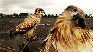 Орлан-долгохвост самая редкая птица Беларуси   Film Studio Aves