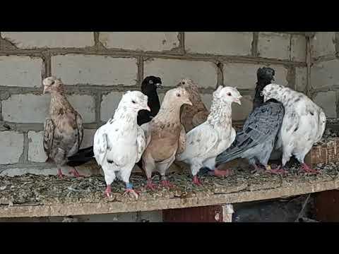 Коллекция мраморных носочубых и двухчубых бойных голубей! В гостях у Руслана часть №2 .