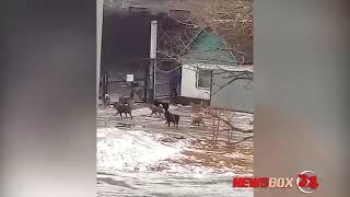 В поселке Краскино стая бродячих собак пугают взрослых и детей