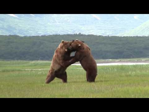 Giant Alaskan Grizzly bears Fighting | Alaska