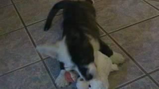 Cardigan Welsh Corgi Pup - Charlie