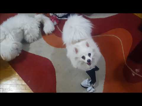 German Spitz: Nervous dogs FIGHTS with Cat - toy & cotton cloth!