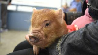 teacup minature pig yawning and being cuddled at pennywell farm