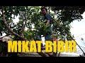 Mikat Bibir Bukan Mikat Burung Sedih Nggak Bisa Ikut Mikat  Mp3 - Mp4 Download