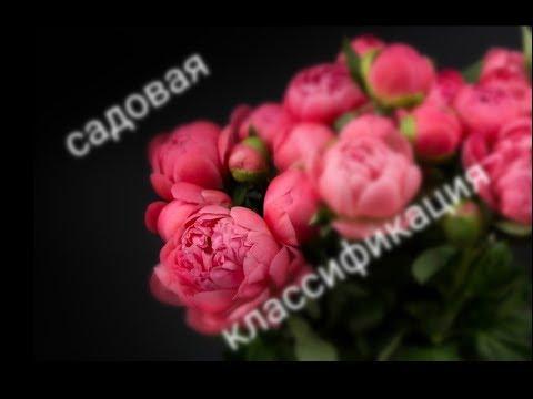 Цветение пионов (Садовая классификация)