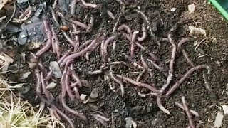 Where can I get composting worms    A look at the worm bins March 2020   Neglected worm bin again 😱