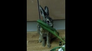 Заяц пристает. Приколы. Заяц русак. Домашние животные. Дикие животные. Вы такого не видели. Зайка.