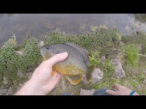 Look At The Size Of These Giant Green Sunfish!!!