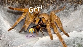 Adult TARANTULAs are HUNGRY !!! ~ Feeding Video like Old Times (kinda) !!!