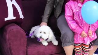 Bichon Poodle Mix, Nat - June 8, 2013