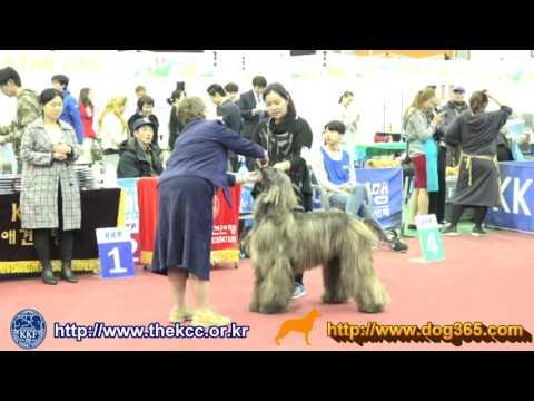 2017 KKF Dog Show-Afghan hound