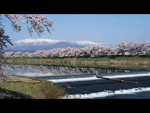 宮城県のさくらを追いかける外国の観光客が増えている。