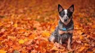 Все породы собак.Австралийская пастушья собака (Queensland Heeler)