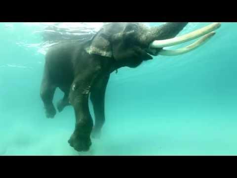 Tribute to Rajan the Swimming Elephant