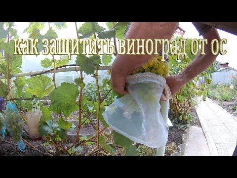Средства борьбы с осами на винограднике.Как защитить виноград от ос.Защита винограда от ос мешочками