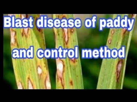 blast disease of paddy(rice) and control method in hindi