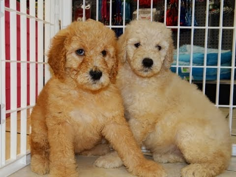 Goldendoodle Puppies Dogs For Sale In Albany County Georgia