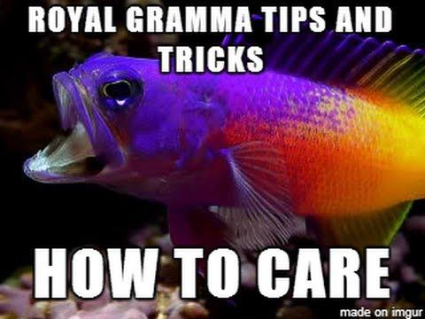 ROYAL GRAMMAS How To: Aquarium Fish Keeping Tricks And Tips