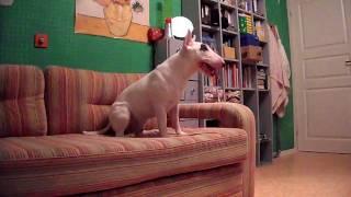 Миниатюрный бультерьер - Тюлень | Miniature bull terrier - seal