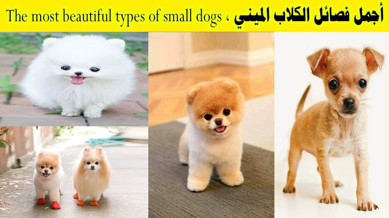 أجمل أنواع الكلاب الصغيرة فى العالم The Most Beautiful Types Of Small Dogs In The World Youtube