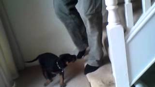 Rupert 8 Week Old Rottweilier Puppy - Sit To Greet Is Very Important To Stop Jumping