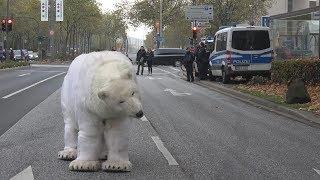 Eisbär auf Willy-Brandt-Allee sorgt für Aufregung und Polizeieinsatz in Bonn