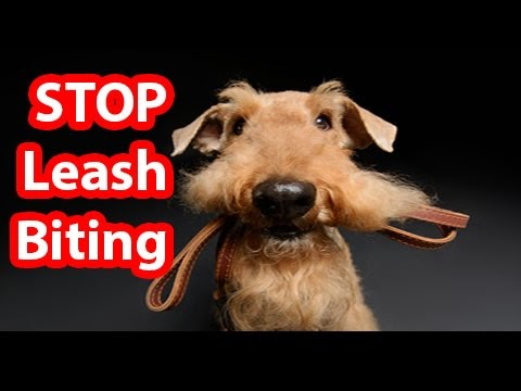 how-to-teach-your-dog-to-not-bite-the-leash---how-to-stop-puppy-biting-on-a-leash!