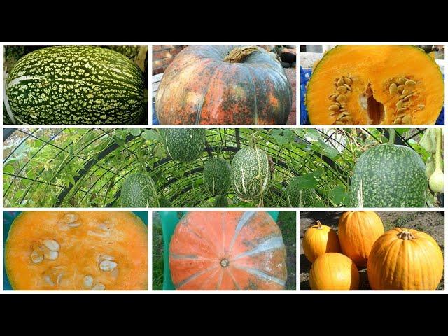 Кавбуз - самая большая в мире целебная ягода! Лечебный, вкусный и урожайный.