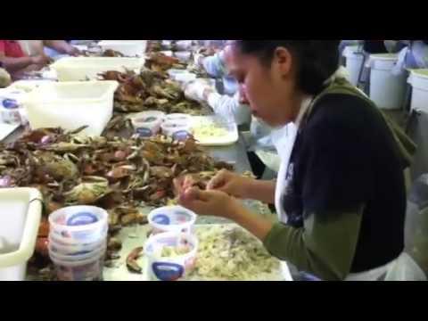 Fastest crab picker Cambridge md 2013
