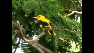 Indian Golden Oriole - sweet but monotonous song - Chacha Nehru Park, Masab tank, Hyderabad