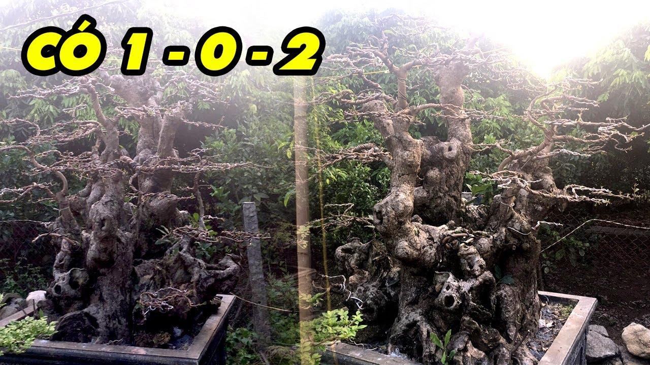 Lộc vừng cổ dáng tam đa có 1 - 0 - 2 ở vùng quê Hưng Yên