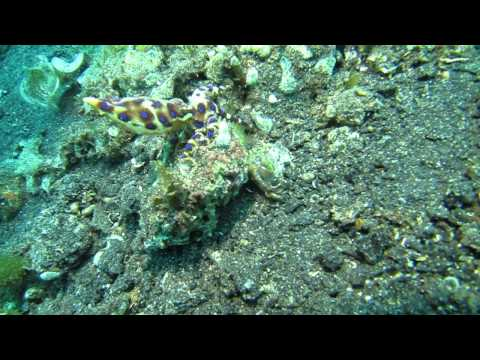 Octopus eating fish, Lembeh Straits Indonesia by SeagateProducts.com