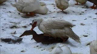 Muscovy Drake Getting Some Rouen Action Ducks Eating The Barn #46 Breeding Ducks
