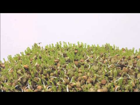 Sprouting Lentils Time Lapse