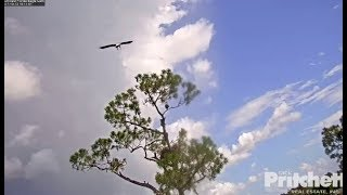 SWFL Eagles ~ Juvie At Pond; Intruder Sits Next To Harriet; SLO MO M Flushing Out Intruder 10.13.17 thumbnail