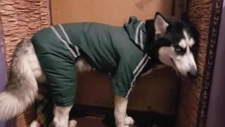Хаски в дождь!! Гуляем в дождевик для собак!! Реакция хаски на костюм!!!