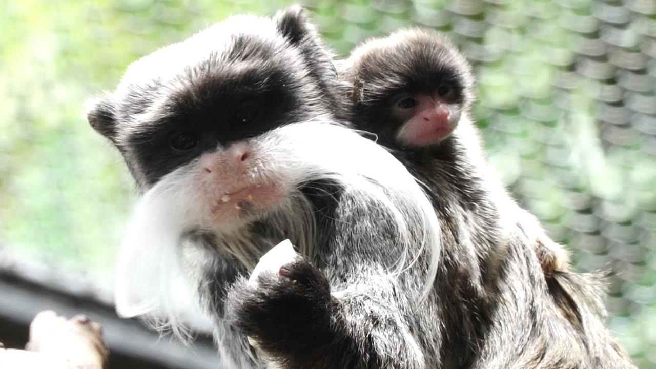 Emperor marmoset twins